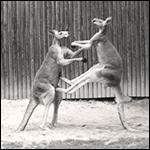 Kangourous-cont-Sepia